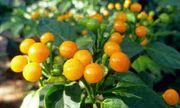 Giới nhà giàu mạnh tay mua loại quả dại có giá hơn nửa tỷ mỗi kg