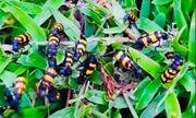 Vì sao thương lái Trung Quốc đặt mua bọ sọc giá 1-2 triệu/kg?