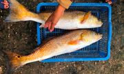 Quảng Bình: Bắt được cặp cá lạ nghi sủ vàng có giá tiền tỷ