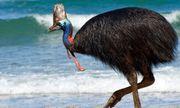 Video: Cận cảnh loài chim nguy hiểm nhất thế giới, có thể khiến đối thủ bỏ mạng chỉ bằng một cú đá