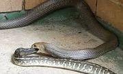 Video: Rợn người rắn nâu kịch độc nuốt chửng đồng loại