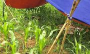 Hòa Bình: Phát hiện thi thể người phụ nữ tử vong bất thường tại ruộng ngô