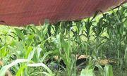 Hòa Bình: Người phụ nữ bị sét đánh tử vong giữa cánh đồng ngô