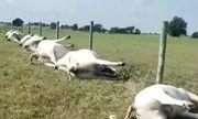 Video: Bị sét đánh trúng, cả đàn bò 23 con chết cứng, nằm la liệt