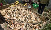 Hải Dương: Điều tra vụ hơn 3 tấn cá chết bất thường, nghi bị đầu độc