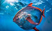 Video: Cận cảnh loài cá máu nóng duy nhất trên thế giới