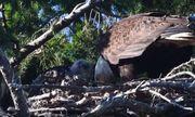 Video: Đại bàng cắp diều hâu non về tổ và cái kết bất ngờ xảy ra?