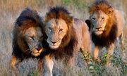 Video: Mải mê săn mồi đàn sư tử ngã xuống giếng và cái kết bất ngờ