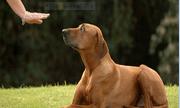 Bệnh viện thú y quốc tế bày cách huấn luyện chó con nghe lời