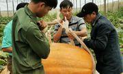 Chiêm ngưỡng quả bí ngô lớn nhất Việt Nam, dài 1,2m, nặng hơn 126 kg
