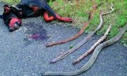 Video: Đàn chó liều chết đối đầu rắn hổ mang để bảo vệ chủ
