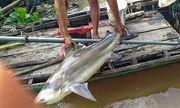 Ngư dân Đồng Tháp bắt được cá lạ, nhìn giống cá mập