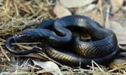 Video: Cận cảnh loài rắn bản địa dài nhất ở Mỹ miễn nhiễm với các loại nọc độc