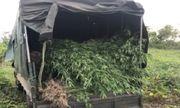 Gia Lai: Phát hiện hơn 2000 cây cần sa trồng trên rẫy