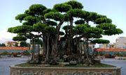 Cây sanh cổ ở Thanh Hóa được khách Nhật định giá hơn 20 triệu USD khiến nhiều người choáng váng