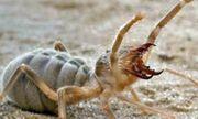 Video: Cảnh cảnh sinh vật săn mồi hung dữ, nửa giống nhện nửa như bọ cạp