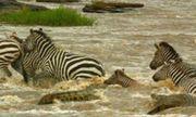Video: Ngựa vằn thoát chết trong gang tấc khi bị cá sấu phục kích
