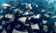 Cảnh tượng hiếm gặp: Khoảng 10.000 con cá đuối quỷ tụ tập ngoài khơi