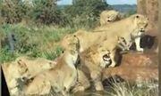 Video: Chó tấn công đàn sư tử và cái kết bất ngờ