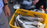 Kiên Giang: Hàng chục tấn cá lồng bè chết ồ ạt không rõ nguyên nhân
