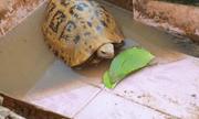 Bắt được rùa có màu lạ ở Bình Dương