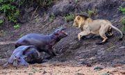 Video: Hà mã con dũng cảm tấn công sư tử, bảo vệ mẹ bị bệnh