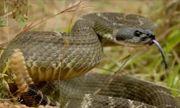 Sóc tinh ranh ướp mùi hương của da rắn khắp cơ thể khiến kẻ thù dính cú lừa ngoạn mục