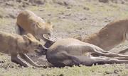 Video: Bầy sói hung dữ lao xuống nước, cắn xé xác hươu