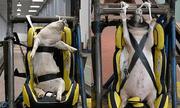 Thí nghiệm dùng lợn sống làm hình nộm thử tai nạn xe hơi tại Trung Quốc bị lên án