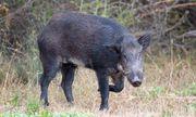 Lợn rừng hóa