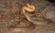 Video: Cận cảnh loài rắn độc nguy hiểm nhất Australia