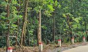 """Hàng cây hoa ban """"tự mọc"""" ở Quảng Ninh: Xác định chủ nhân của hàng cây đắt tiền"""