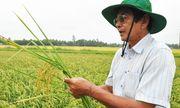 """Gặp """"thần nông"""" Việt ươm mầm hạt gạo ngon nhất thế giới"""