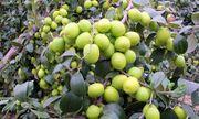 """Cận cảnh """"cụ"""" táo khổng lồ gần 60 năm tuổi ở Hà Nội, mỗi năm cho đến 3 tạ quả"""