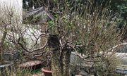 Người trồng đào Nhật Tân đang tất bật tuốt lá đón Tết