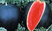 Ngỡ ngàng trước quả dưa hấu có giá 130 triệu đồng