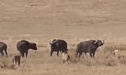 Video: Đồng loại bị tấn công, trâu rừng kéo cả đàn đến giải vây