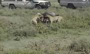 Video: Báo đốm đoạt mạng linh dương đầu bò trong