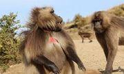 """Lọt vào ổ mai phục của bầy khỉ đực, """"vua khỉ"""" tự giải vây đầy bản lĩnh, giữ vững """"ngai vàng"""""""