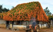 Ngôi nhà phủ hoa chùm ớt ở Lâm Đồng