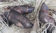 Phát hiện xe khách chở cả đàn lợn lở mồm long móng