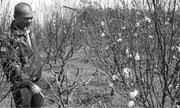 Làng đào Nhật Tân khoe sắc giữa đại ngàn Tây Nguyên