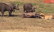 Đang ung dung chuẩn bị chén một bữa thịnh soạn, sư tử phải bỏ chạy 'trối chết' vì bị trâu rừng đột kích