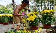 Tiểu thương xé nát hoa khi giảm giá xuống 5.000 đồng/chậu mà vẫn không có người mua