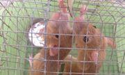 Năm Canh Tý, nông dân miền Tây bẫy được cặp chuột lông vàng lạ mắt
