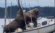Cặp sư tử biển khổng lồ thảnh thơi phơi mình, suýt nhấn chìm thuyền trên biển