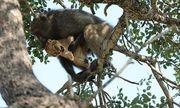 Video: Khỉ đực già âu yếm ôm hôn, chăm sóc sư tử non như con đẻ