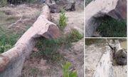 Tổ chức đấu giá cây gỗ lim trăm tuổi được người dân tìm thấy dưới suối