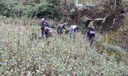 Điện Biên: Phá nhổ số lượng lớn cây thuốc phiện trong rừng sâu