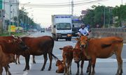 Video: Xe ô tô tông phải bò thả rông giữa đường